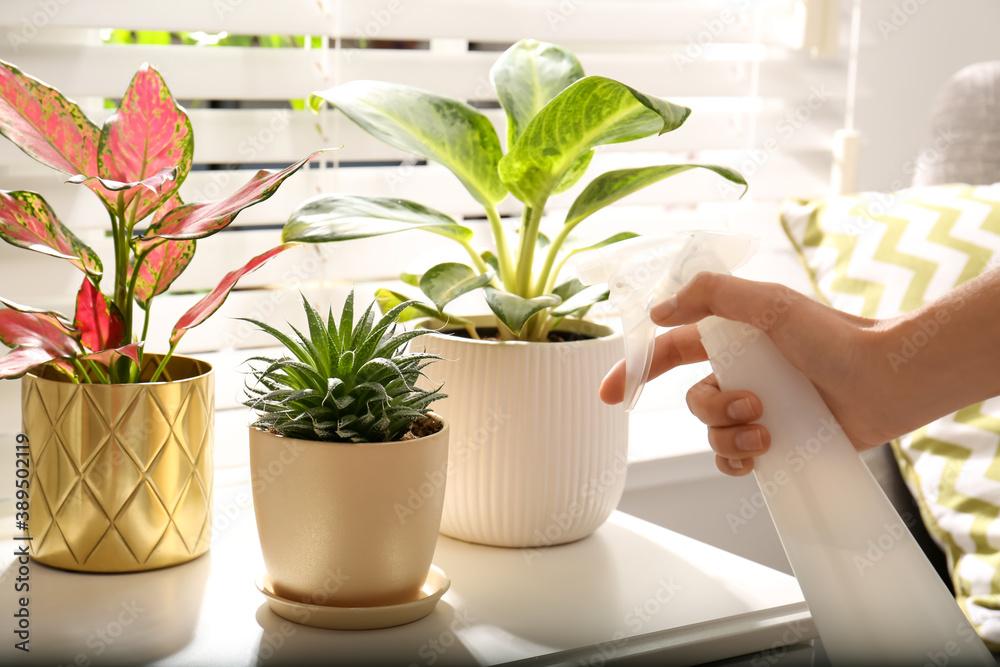 Fototapeta Woman spraying beautiful houseplants near window indoors, closeup