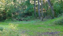 Whitetail Yearling Deer Trotting Across A Clearing In The Woods And Up A Game Trail In Early Autumn