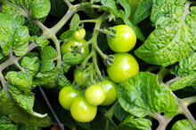 Closeup Of Small Green Tomatoe...