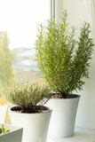 fresh herbs in white plant pots growing on a windowsill.