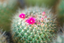 Cactus,Cactus Thorn,Close Up O...