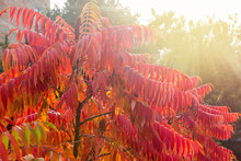 Sumac Branches With Bright Red...
