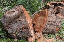 Pieces Of Trunk And Stump Of S...