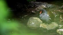 Moorhen (Gallinula) In Green Blurr