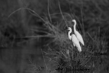 A Pair Of Little Egrets At Ask...