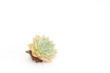 Sweet Pink Green Echeveria Succulent Plant With Root And Soil On White Background