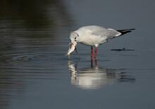 Black-headed Gull Eating Fish ...