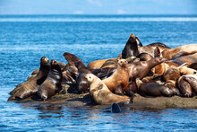 Stellar Sea Lions On The Hornby Island At Daytime In Vancouver, Canada