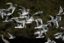 Black-headed Gulls In Flight A...