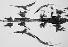 Black-headed Gulls And Dramati...