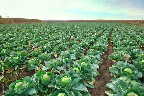 Vászonkép Green cabbage heads in a cabbage field in autumn, in the open ground