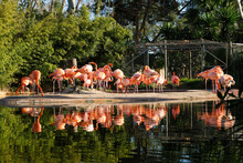 Lake With Beautiful Pink Flamingos Surrounded With Lush Plants On A Sunny Day In Barcelona, Spain.