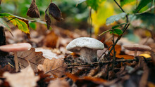 Russula Virescens, Commonly Kn...