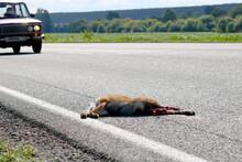A Dead Fox Lies On The Asphalt...