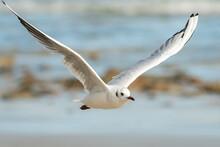 A Black-headed Gull Flying On ...