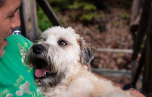 Close Up Of A Wheaten Terrier Dog Looking At It's Male Owner.