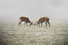 Stags Fighting In Fog