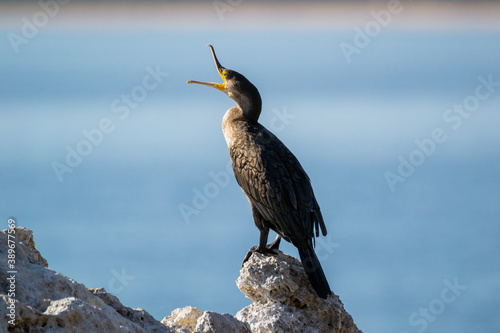 Fényképezés Great cormorant (Phalacrocorax carbo) sitting on a rock with an opened beak