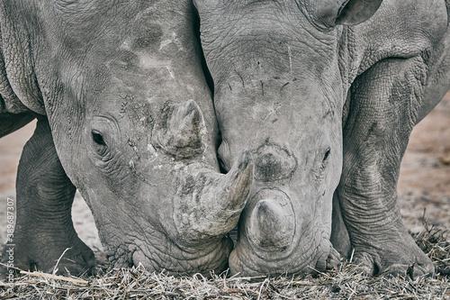 Fotografering Big rhino in Namibia, Africa