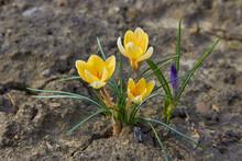Yellow Crocus Flowers,the Firs...
