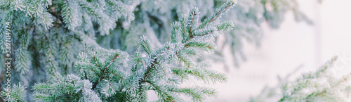 Winter panorama of fir branches with snow and frost on a light background for de Fotobehang