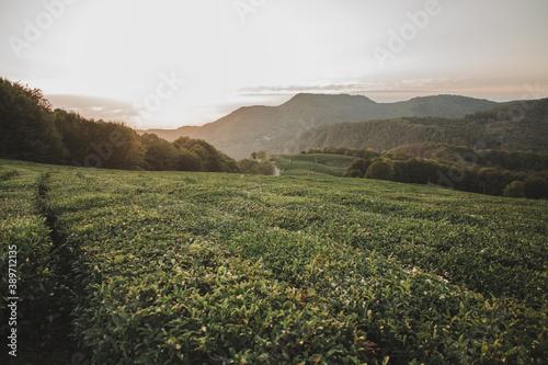 green tea plantations with mountain views at sunset Fotobehang