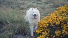 Samoyed Dog Standing On The Co...