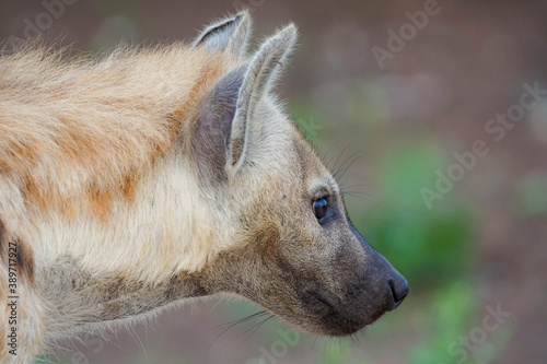 Hyena, portrait of a hyena, photo of a hyena from the side, African hyena Wallpaper Mural