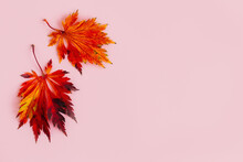 Beautiful Red Leaves Of A Japanese Maple On A Light Pink Background. Autumn Background. Flat Lay.