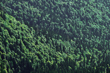 Bird's Eye View Of The Mixed Coniferous Forest