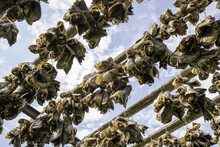 Stockfish Heads Drying In The ...