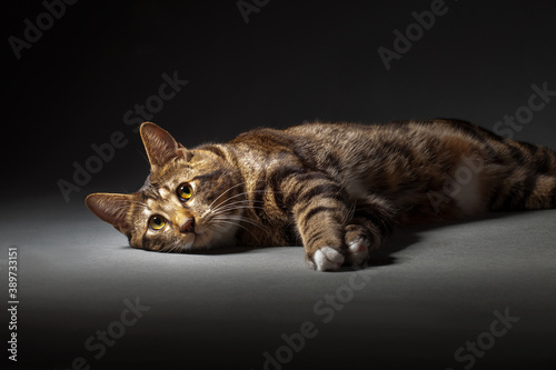 Fotografia, Obraz Kurilian bobtail cat laying wallowing