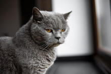 Gray Chartreux Cat With A Yellow Eyes Sit In Apartment And Looking In A Window.