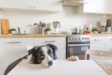 Hungry Border Collie Dog Sitti...