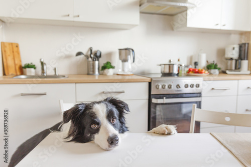 Hungry border collie dog sitting on table in modern kitchen looking with puppy eyes funny face waiting meal Canvas Print