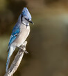 A blue jay sits atop a weathered stump in Cheyenne, Wyoming