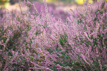 Pink Heath Lavender Flower Wit...