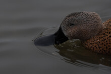 Close Up Of A Brown Spotted Duck.