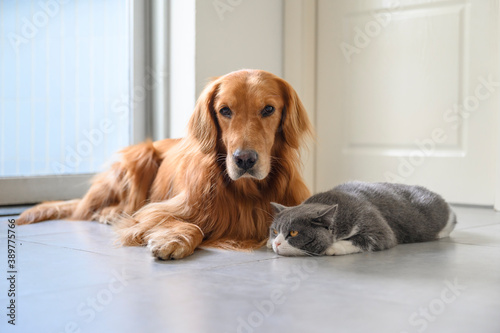 Foto British Shorthair and Golden Retriever