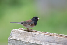 Dark-eyed Junco Bird