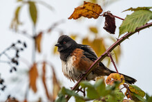 Close Up Of A Beautiful Towhee Bird With Orange Chest Shuffling Its Feather On A Spiky Branch