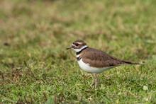Close Up Portrait Of A Beautiful Killdeer Bird Standing On Green Grass Field