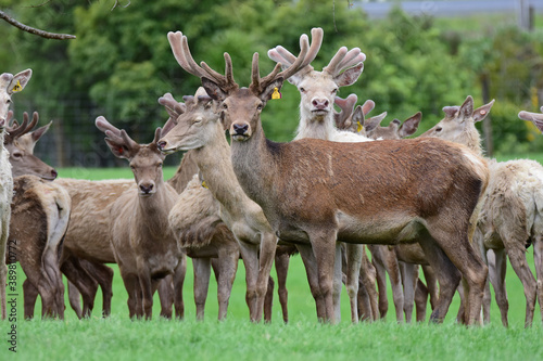 Red white Danish deer in one of the farms in Auckland, New Zealand Fototapeta