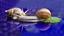 Closeup Shot Of Two Snails Iso...