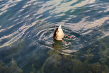 Wild Gray Duck Swimming In The...