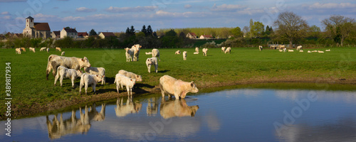 Fotografía Panoramique vache de bain en Ardèche en Auvergne-Rhône-Alpes, France