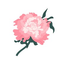 Pink Japanese Peony Isolated On White Background. Gorgeous Blooming Flower With Stem And Leaves. Blossom Gentle Oriental Floral Plant. Clip Art Design Element. Flat Vector Illustration