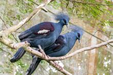 Western Crowned Pigeon Are Per...