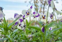 Fresh Spring Landscape. Pansie...