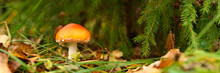 Mushroom Fly Agaric In Grass On Autumn Forest Background. Toxic And Hallucinogen Red Poisonous Amanita Muscaria Fungus Macro Close Up In Natural Environment. Banner